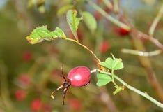 Zdrowe owoc są prześladowanym różanego na deszczowym dniu obraz royalty free