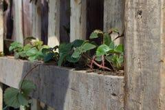 Zdrowe Truskawkowe rośliny Obrazy Royalty Free