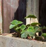 Zdrowe Truskawkowe rośliny Zdjęcie Royalty Free