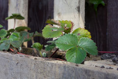 Zdrowe Truskawkowe rośliny Obrazy Stock