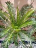 ZDROWEJ ZIELONEJ SAGO palmy WEWNĘTRZNA roślina fotografia royalty free