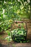 Zdrowi i zieleni ogórki w starym koszu zdjęcie royalty free