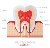 Zdrowy biały ząb anatomii mieszkanie Zdjęcia Stock