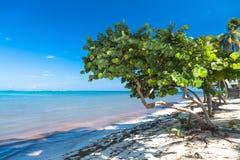Zdrowy denny gronowy drzewo w tropikalnej plaży obraz royalty free