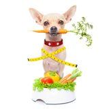Zdrowy głodny pies Obraz Royalty Free