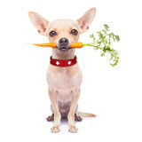 Zdrowy głodny pies Fotografia Royalty Free