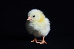 Zdrowy kurczaka czerni tło Zdjęcie Stock