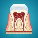 Zdrowy ludzki ząb w cutaway Zdjęcie Stock