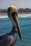 zdrowy przyglądający pelikan morze obraz royalty free