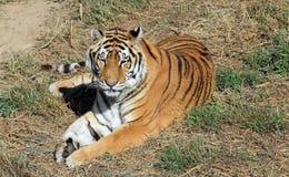 zdrowy tygrysi dziki Obrazy Stock