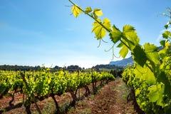 Zdrowy zielony winnica z winoroślą opuszcza w przedpolu obraz royalty free