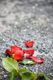 Zdruzgotana piękna czerwieni róża z płatkami i zielenią opuszcza na ziemi Obraz Stock