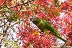 Zdziczała Papuzia rewolucjonistka Koronował papugi na drzewie, je czerwone jagody, Sunnyvale, południowy San Francisco zatoki ter fotografia stock