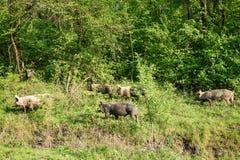 Zdziczałe świnie pasa na zielonym gazonie Fotografia Royalty Free