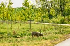 Zdziczałej świni pasanie na zielonym gazonie Zdjęcia Stock