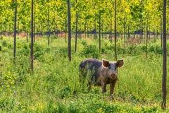 Zdziczałej świni pasanie na zielonym gazonie Zdjęcie Royalty Free