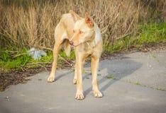 Zdziczały głodny przybłąkany pies Fotografia Stock