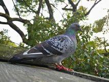 Zdziczały gołębi ptak na drewnianym dachu z drzewami na tle Zdjęcia Stock