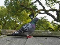 Zdziczały gołębi ptak na drewnianym dachu z drzewami na tle Obrazy Stock