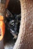 Zdziczały kot Bawić się peekaboo Zdjęcie Stock
