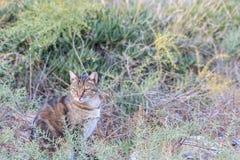 Zdziczały kot w naturze między roślinami Zdjęcia Stock