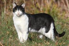 Zdziczały lub Przybłąkany kot Obrazy Royalty Free