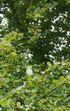 Zdziczały Upierścieniony Parakeet, Londyn Zdjęcia Stock