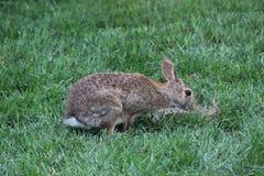 Zdziczały królik Zdjęcie Stock