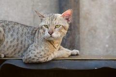 Zdziczały uliczny kot Fotografia Royalty Free