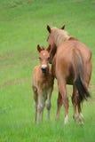 zdziczali konie Zdjęcia Royalty Free