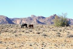 Zdziczali konie dezerterują góry Garub, Namibia, Afryka Obraz Royalty Free