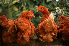Zdziweni kurczaki Zdjęcia Stock