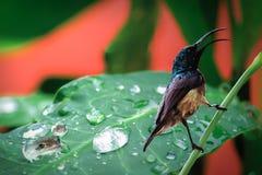 Zdziwiony nucić ptak fotografia stock