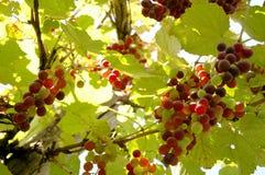 ze świeżych winogron Obrazy Royalty Free