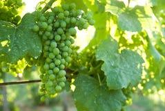 ze świeżych winogron Fotografia Stock