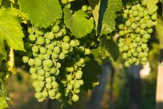 ze świeżych winogron Obraz Royalty Free