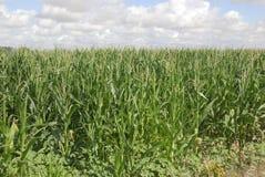 Zea Maj, kukurudza, Allergens rośliny zdjęcia stock