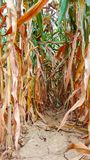 Row of ripe corn cobs seen from below royalty free stock image