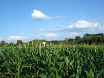 Zea mays. Maize, also known as corn, is a cereal plant that yields large grains, or kernels, set in rows on a cob stock photos