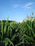 Zea mays. Maize, also known as corn, is a cereal plant that yields large grains, or kernels, set in rows on a cob stock images