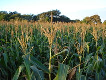 Zea mays. Maize, also known as corn, is a cereal plant that yields large grains, or kernels, set in rows on a cob royalty free stock image