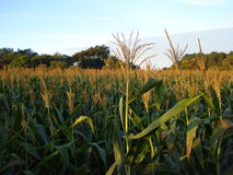 Zea mays. Maize, also known as corn, is a cereal plant that yields large grains, or kernels, set in rows on a cob royalty free stock photo
