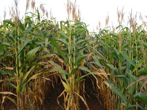Zea mays. Maize, also known as corn, is a cereal plant that yields large grains, or kernels, set in rows on a cob stock photo