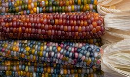 Zea Mays sweetcorn with multicoloured kernels, grown on an allotment in London UK.