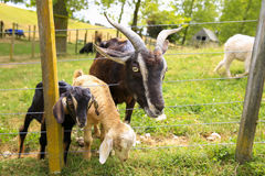 Zealand Arapawa Goat with baby goats at the farm Stock Image