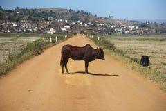 Zebù dal Madagascar Immagini Stock
