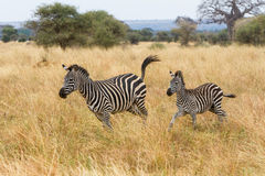 Zebra mother and foal running. A zebra mother and foal running towards camera Royalty Free Stock Photography