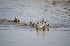 Zeba simning över den Mara floden, Kenya arkivbild
