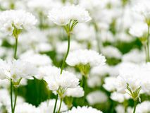 Zebdanense do Allium Imagem de Stock