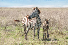 Zebe and foal Royalty Free Stock Photos